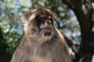 Barbary macaque, Monkey in Gibraltar